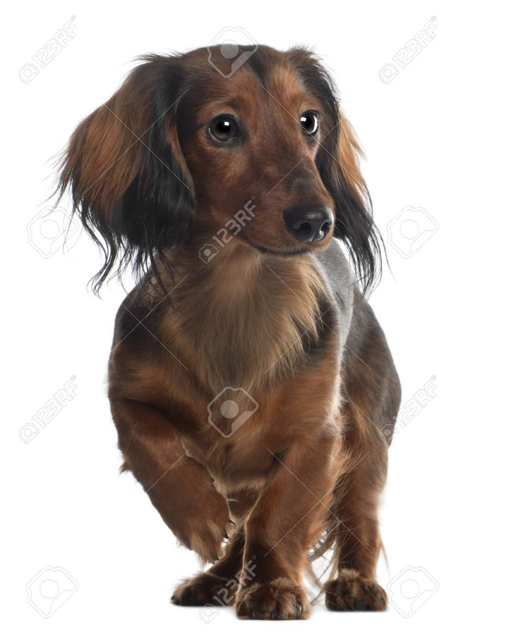 Dachshund 10 Months Old Standing In Front Of White Background