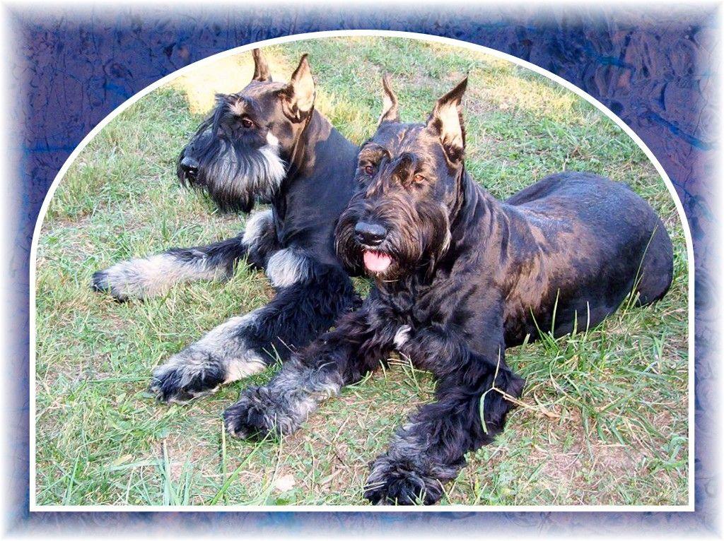 Black Giant Schnauzer Breeders in TN | Giant schnauzer ...