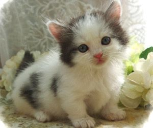 Pin By Charmaine Pattee On Dreaming Of Puppies Kittens And More Kittens Cutest Munchkin Cat Cute Baby Animals
