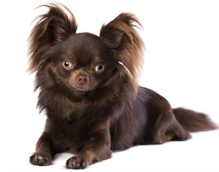 Chocolate Chihuahuas Cute Small Dogs Chihuahua Puppies Chihuahua