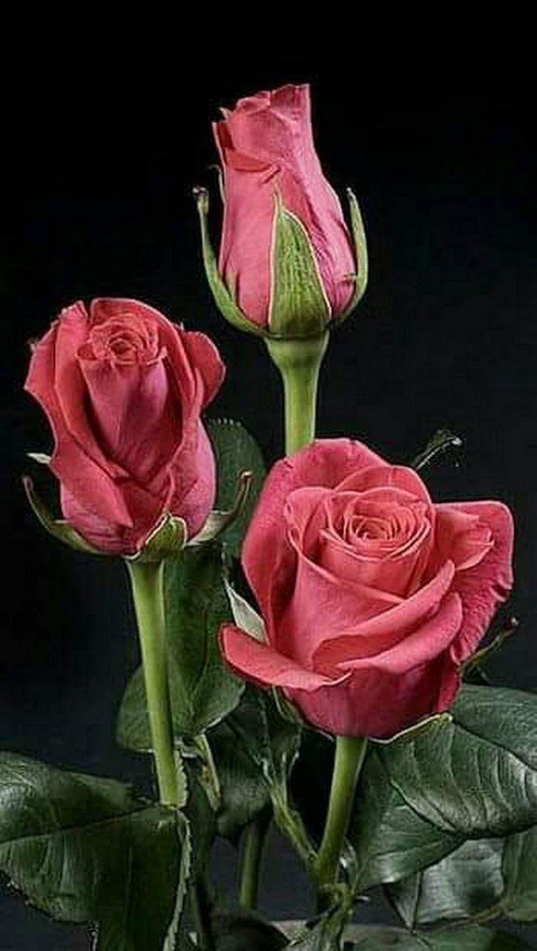 изысканная роза картинки молодая