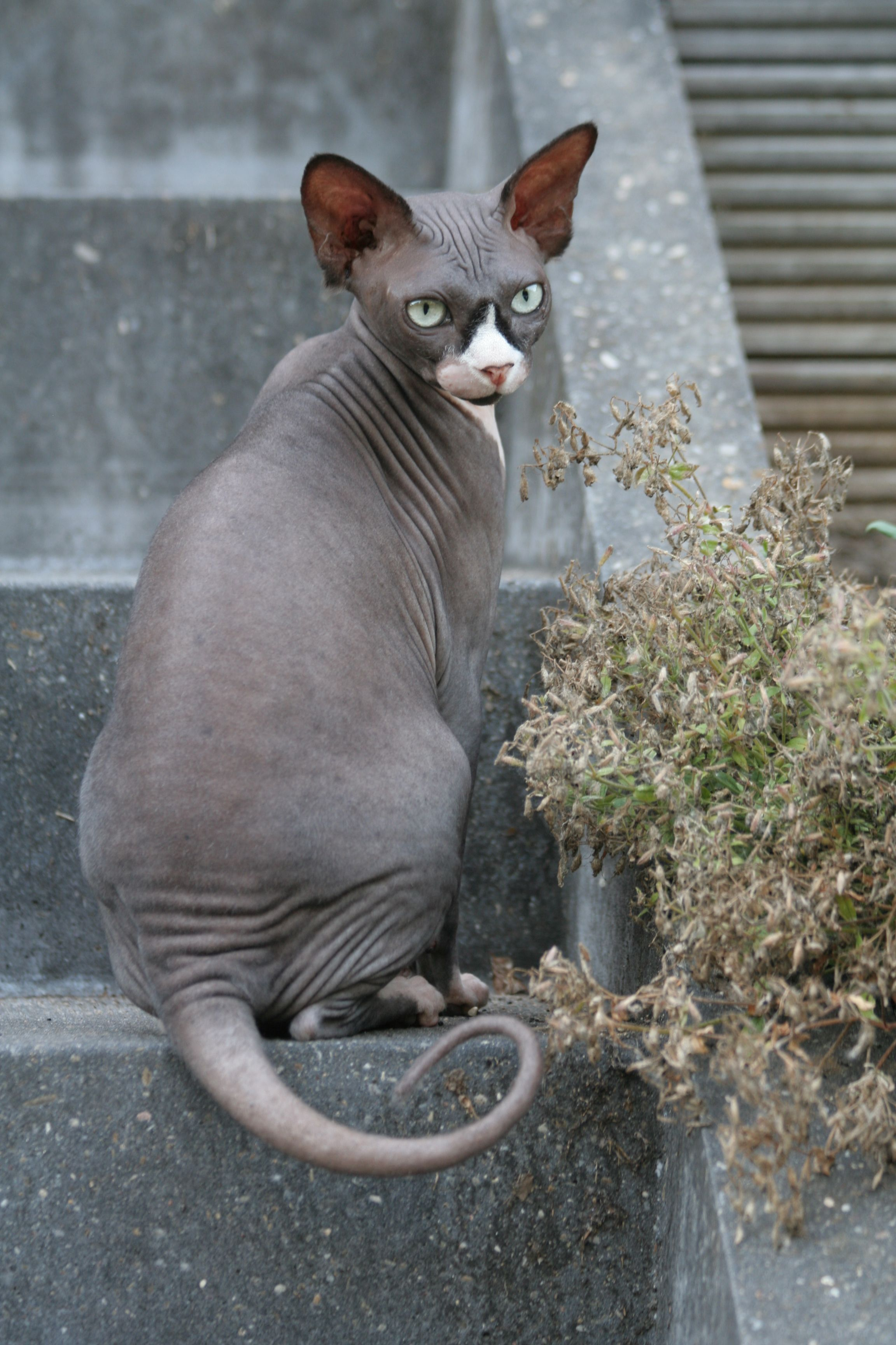 Beautiful Sphynx kitty =) Devon rex cats, Hairless cat