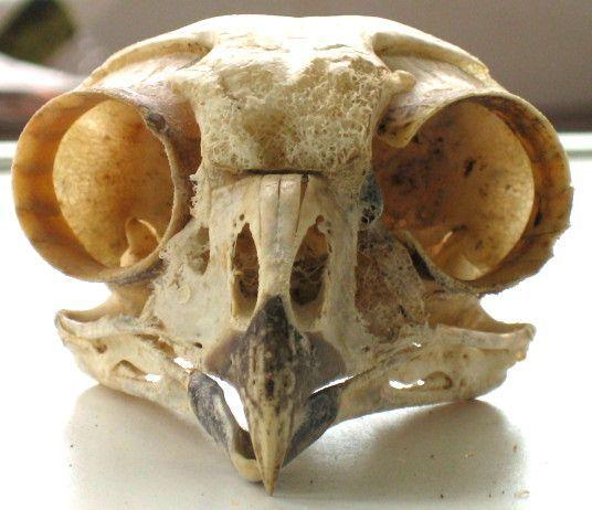 owl skull - Google Search | Survivor Ideas | Pinterest