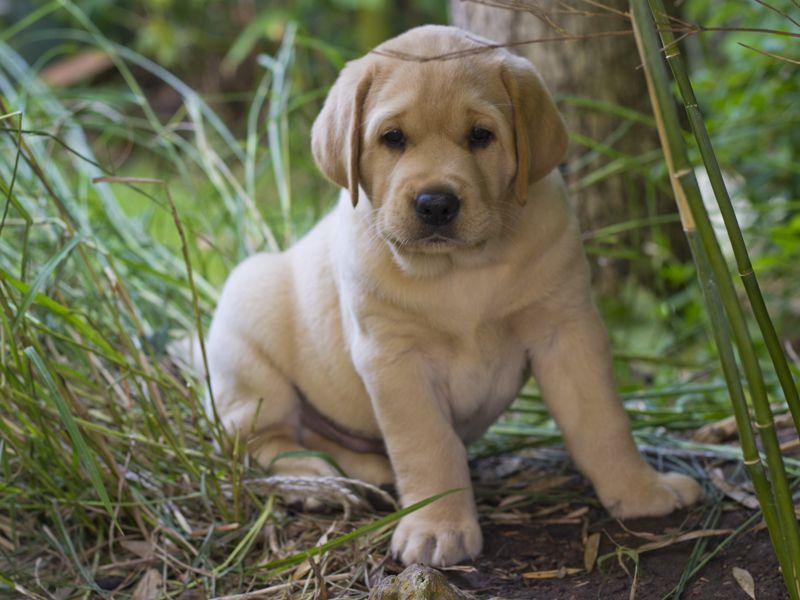 Arthur vom Aggenstein / LabradorWelpe Yellow labrador