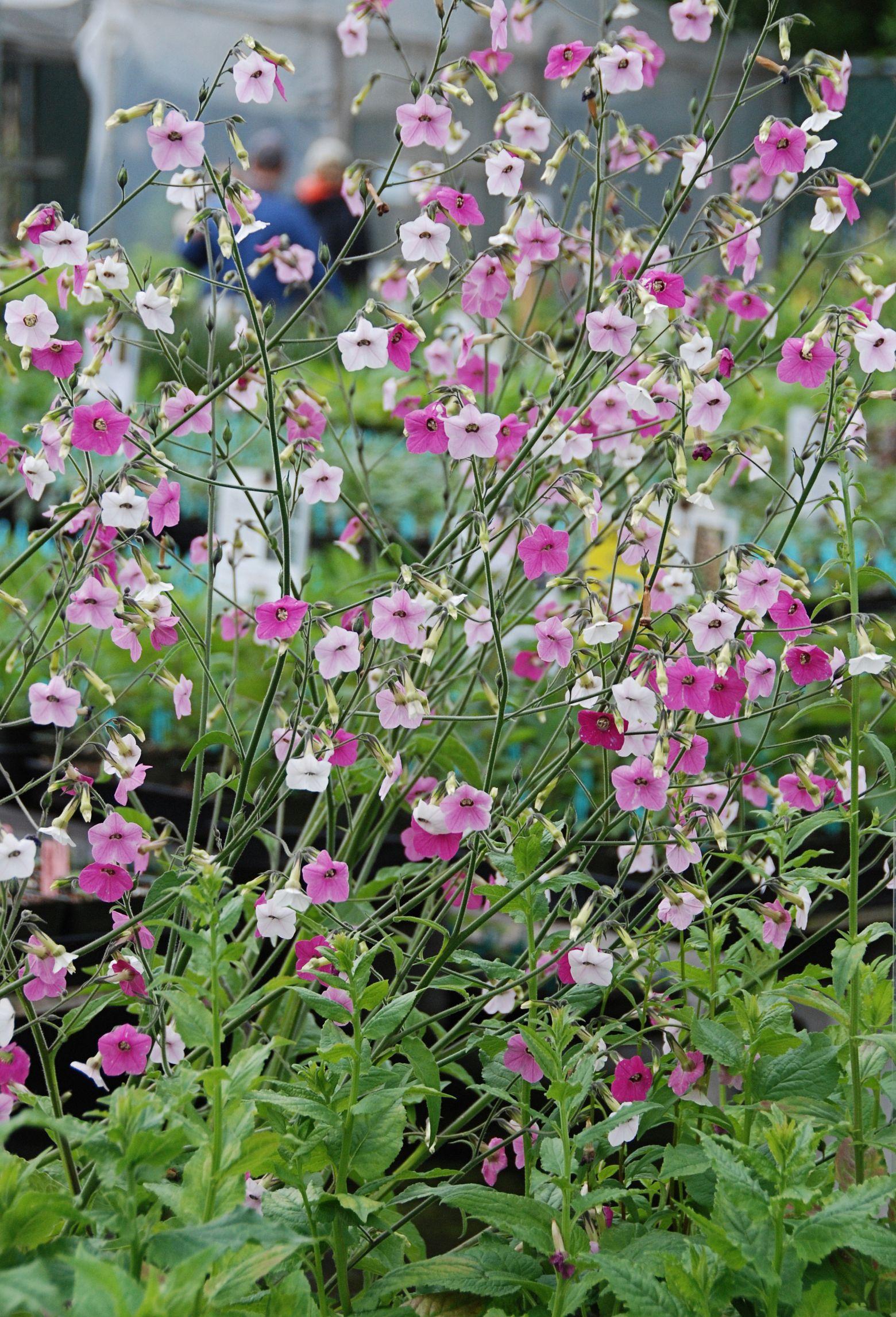 Nicotiana tuinen pinterest hollyhock gardens and garden ideas nicotiana izmirmasajfo Choice Image