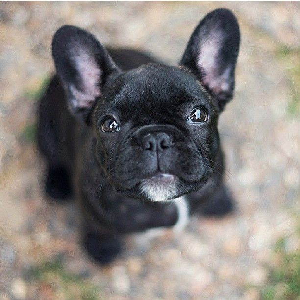 That Face French Bulldog Puppy French Bulldog Puppies Cute