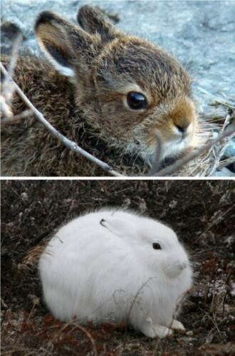 أرنب القطب الشمالي في الشتاء تكتسي بالفرو الأبيض لحمايتها من البرد القارص Animals