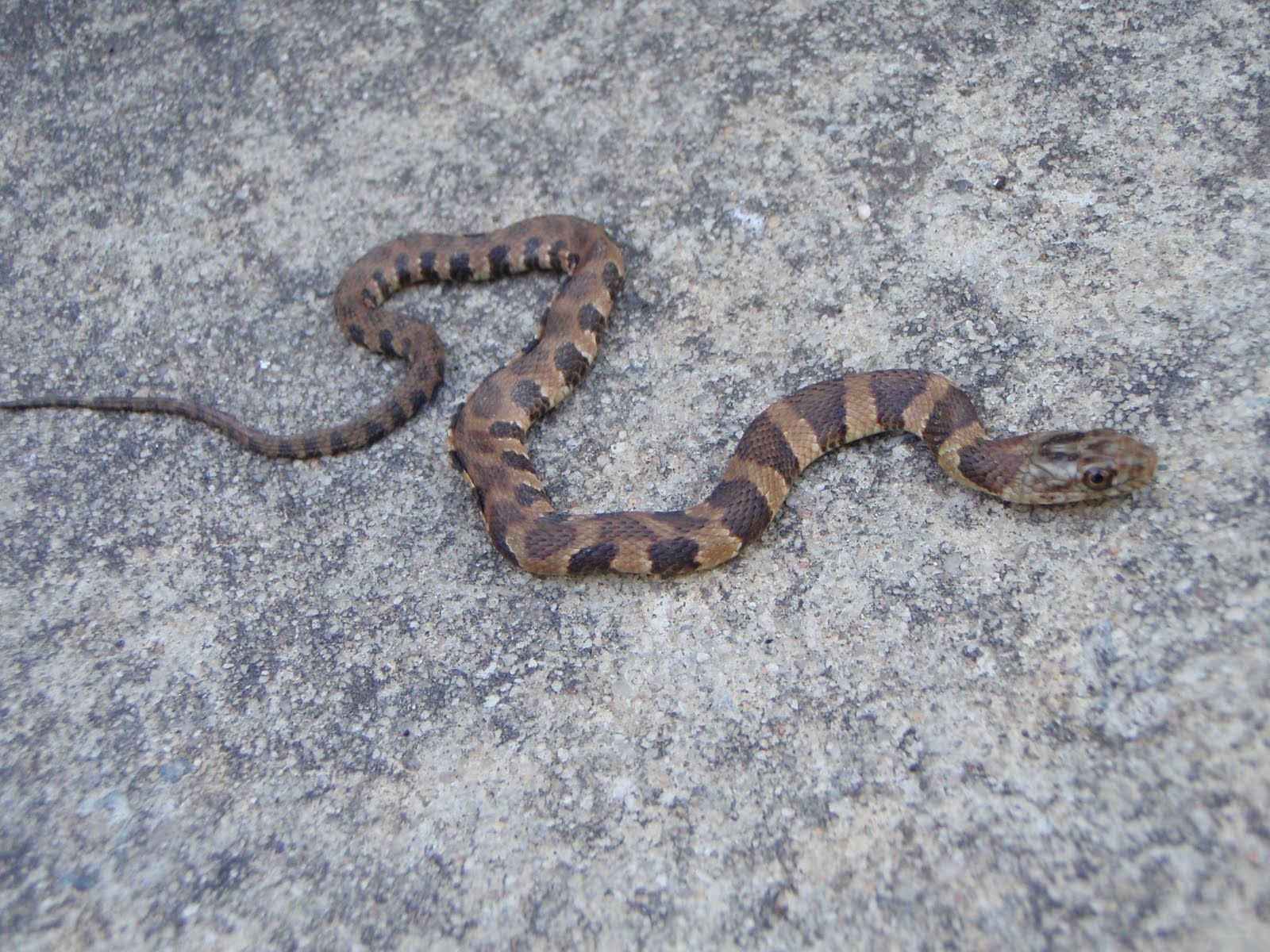 Baby Water Moccasin Snake Pictures | www.imgkid.com - The ...