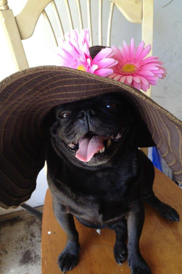 The Calla Lillies Are In Bloom Again Dapper Dogs Animals Pug Dog