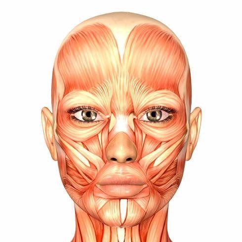 anatomia musculos de la cara - Buscar con Google