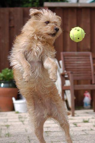 Dutch Smoushond Dogs Puppy Dog Lady Dog Breeds Dog Names