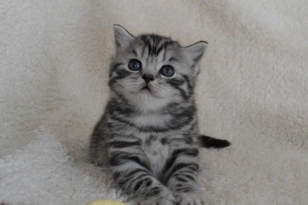 40 Pictures Of Cute Silver Tabby Kittens Tail And Fur Silver