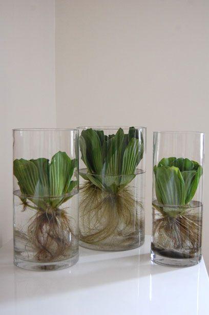 Water lettuce arrangement indoors. | Wohnen und Häuschen