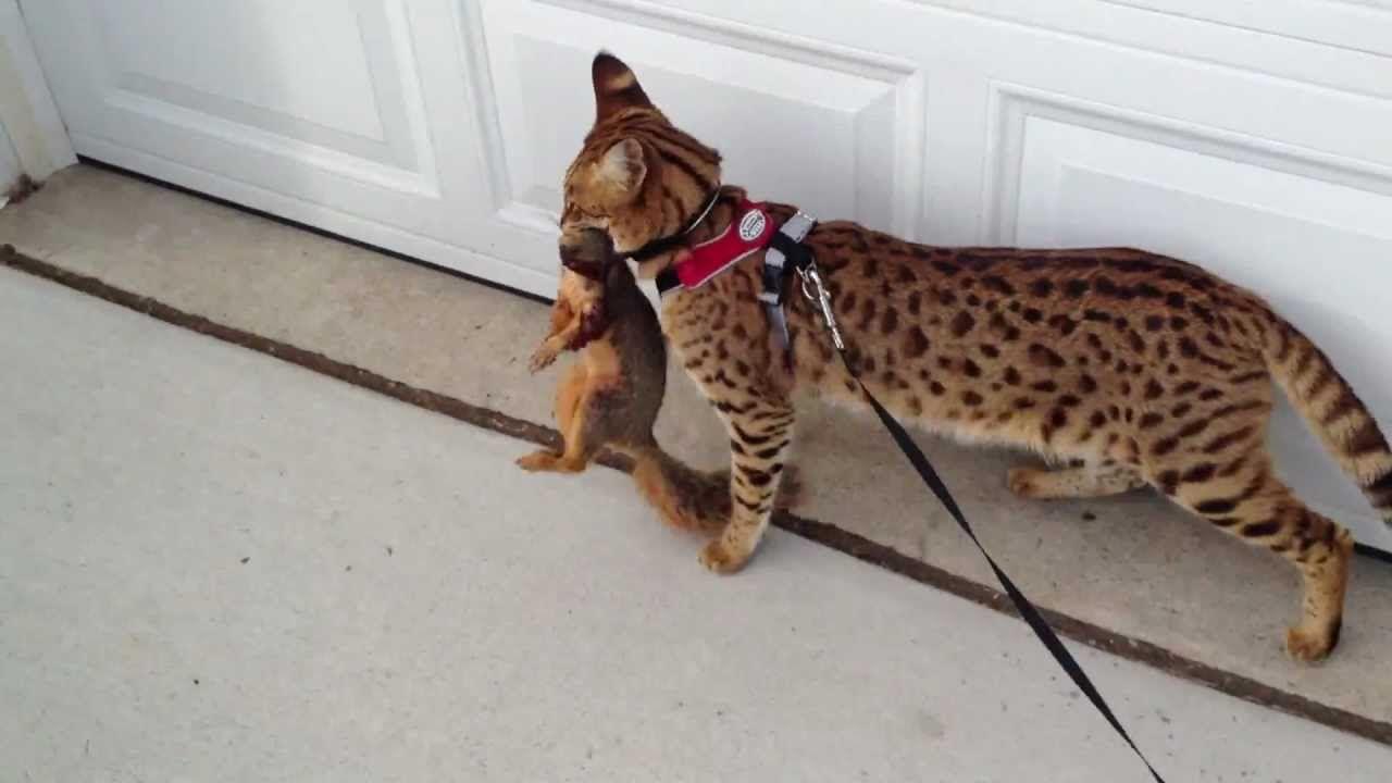 F1 Savannah Cat And Squirrel Youtube Savannah Cat Bengal Cat
