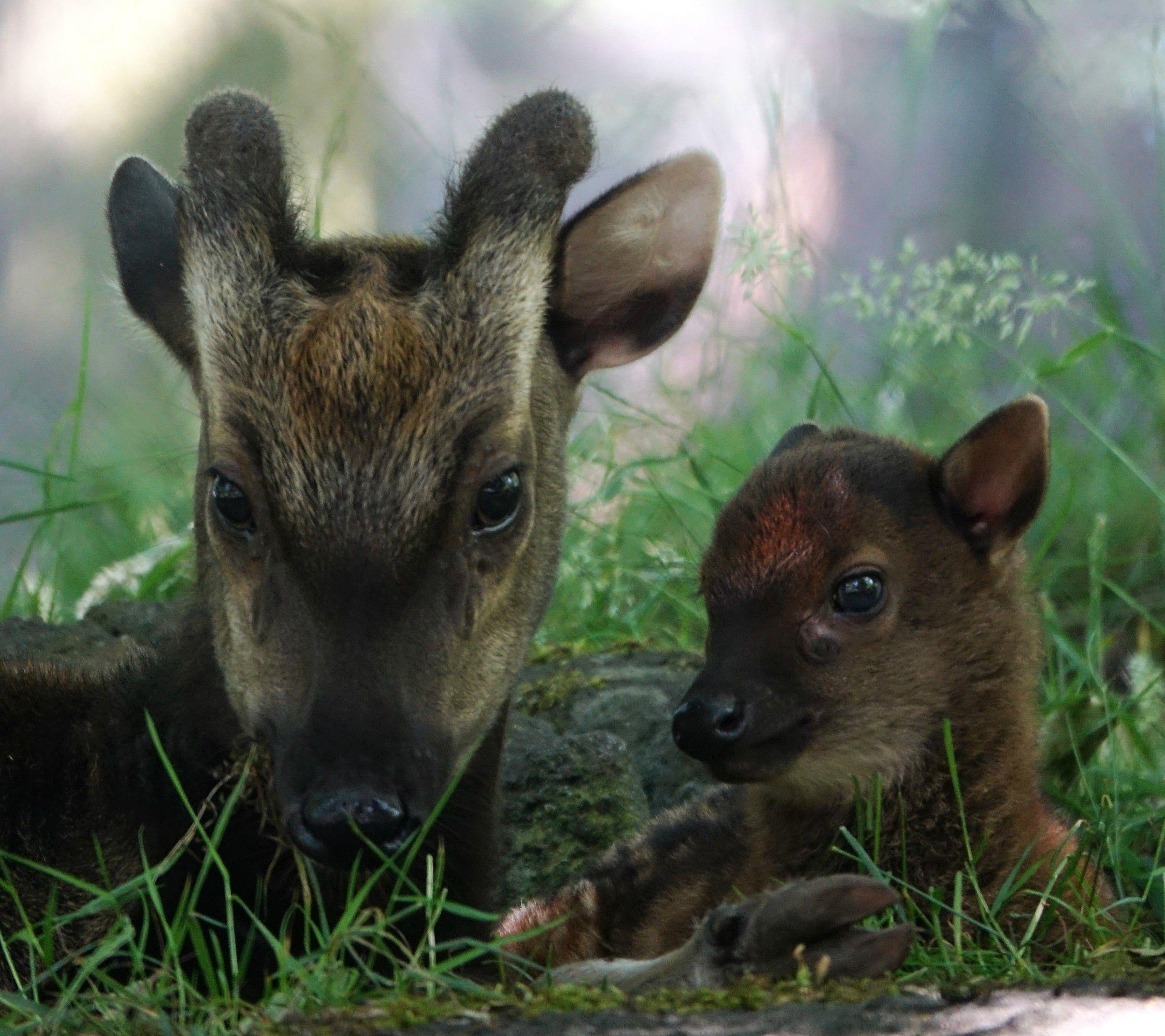 Rare Visayan Spotted Deer Born at Edinburgh Zoo