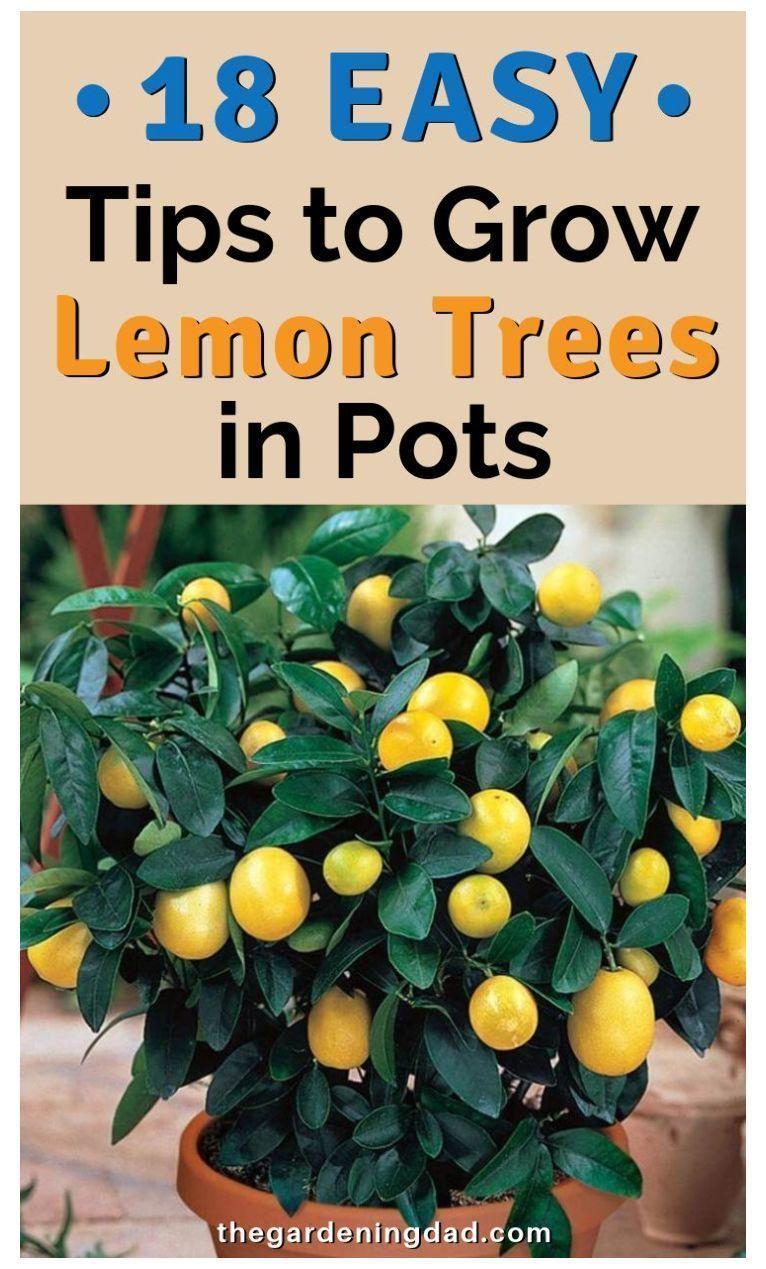 18 Easy Tips To Grow Lemon Trees In Pots Growing Herbs In Pots Indoors Indoo Easy Grow Growing Growing Lemon Trees How To Grow Lemon Lemon Tree Potted