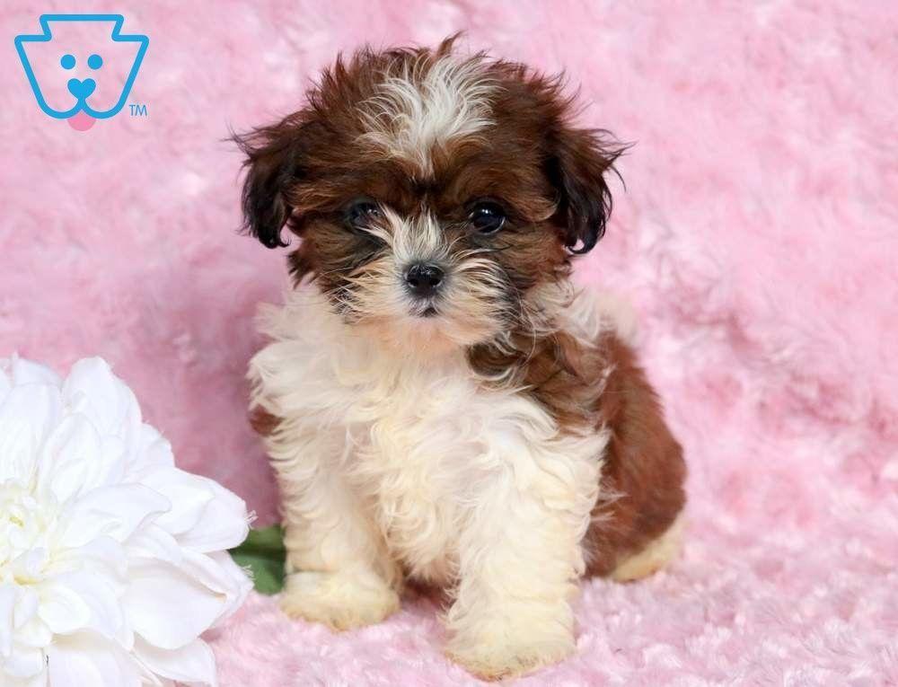 Paige Shih Tzu Puppy For Sale Keystone Puppies Shihtzu