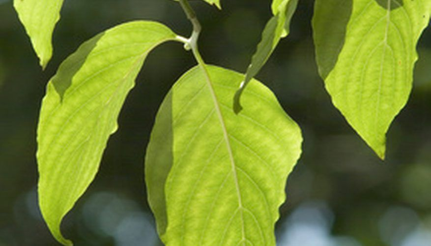 Dogwood Leaves Are Usually Elliptical In Shape Tree Leaf Identification Dogwood Trees Leaf Identification