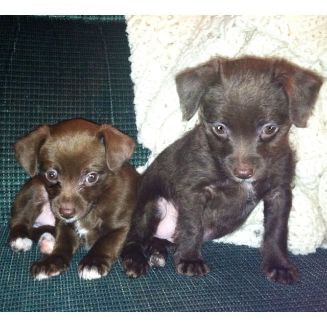 Chihuahua Poodle Mix Puppy Love 3 Chihuahua Poodle Mix Poodle Mix Chihuahua