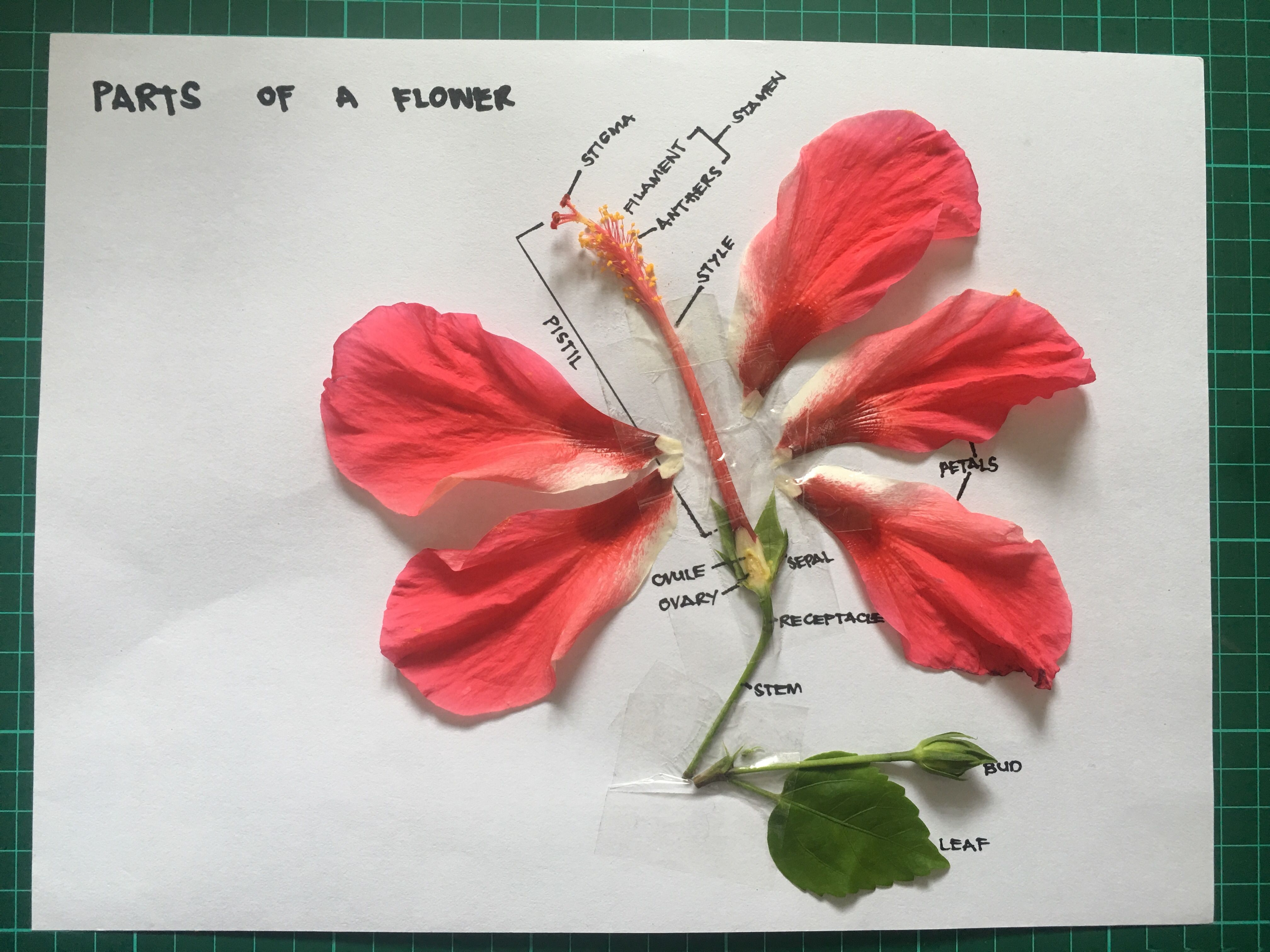 Parts of a flower hibiscus school projects pinterest parts of a flower hibiscus izmirmasajfo