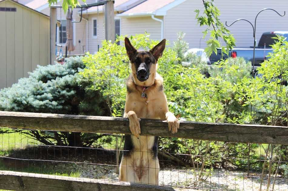 Read 7 Tips On Preparing Your Dog For Guard Dog Training German