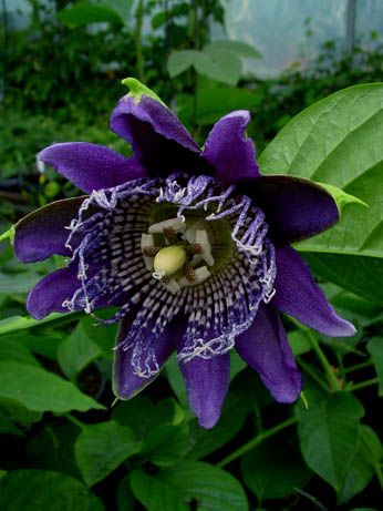 passiflora blue moon passionflowers in 2018 pinterest passionsblume blumen und garten. Black Bedroom Furniture Sets. Home Design Ideas