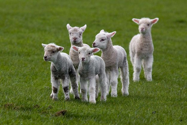 A mini-herd of lambs.   31 Fuzzy Little Lamb Pictures To Brighten The Day