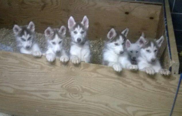 Stahler S Siberians Akc Siberian Huskies Kearneysville