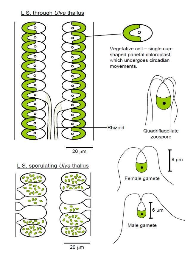Ulva anatomy | Algae | Pinterest