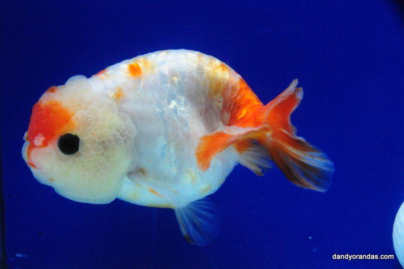 Sakura Ranchu Dandyorandas Com Ryukin Goldfish Goldfish Goldfish Tank