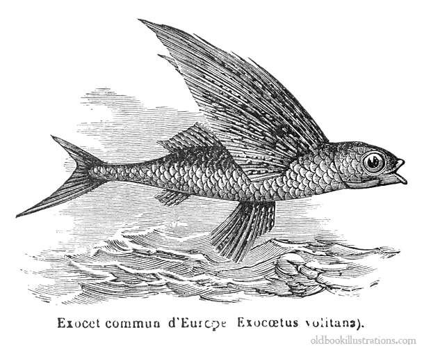 Flying Fish Fish Pinterest Illustration Wings And Fish Art