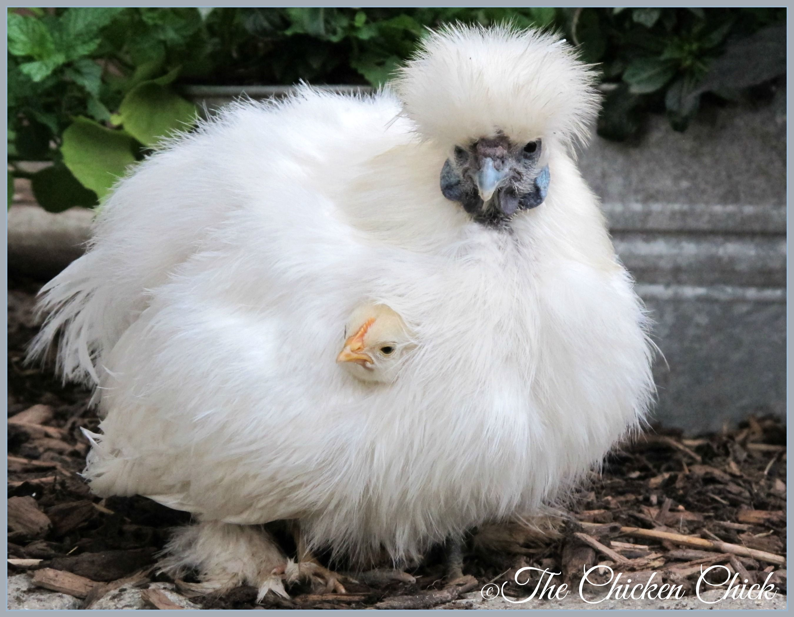 Freida (Silkie surrogate mom) with Frederick (Serama chick ...