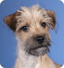 Chicago Il Yorkie Yorkshire Terrier Mix Meet Henry A Puppy For