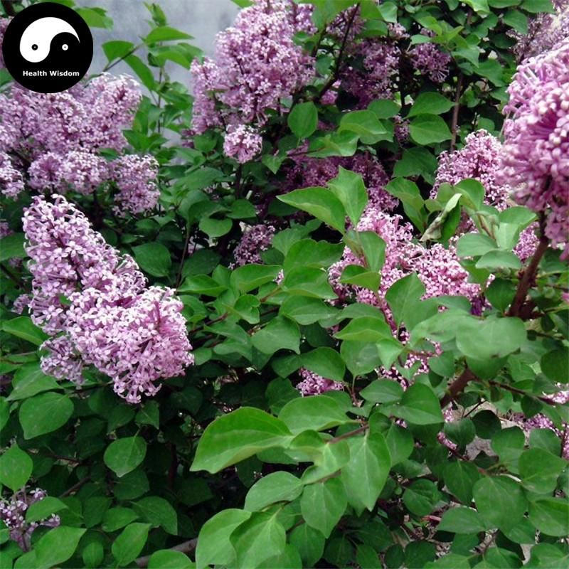 My Favorite Flowers Perennials Lilac Flowers Lilac Bushes