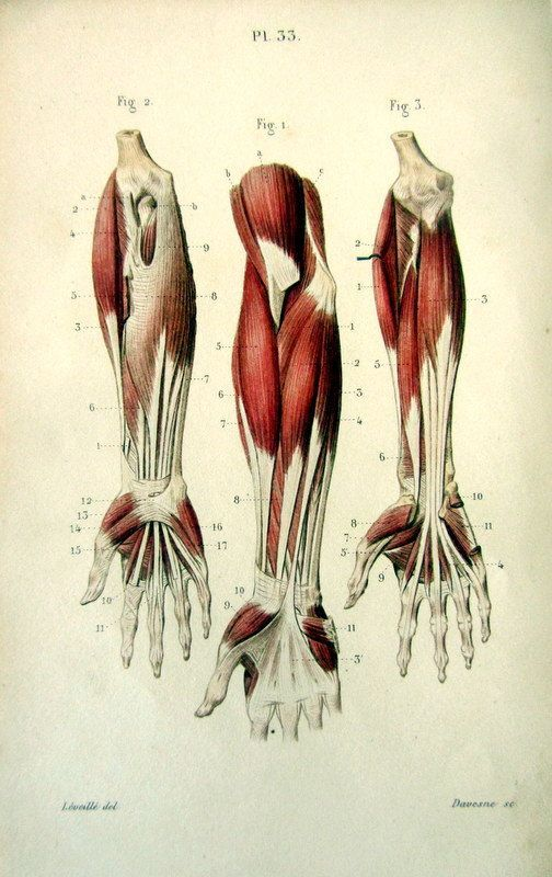 Anatomy Of Lower Arm And Hand Arms Pinterest Anatomy Anatomy