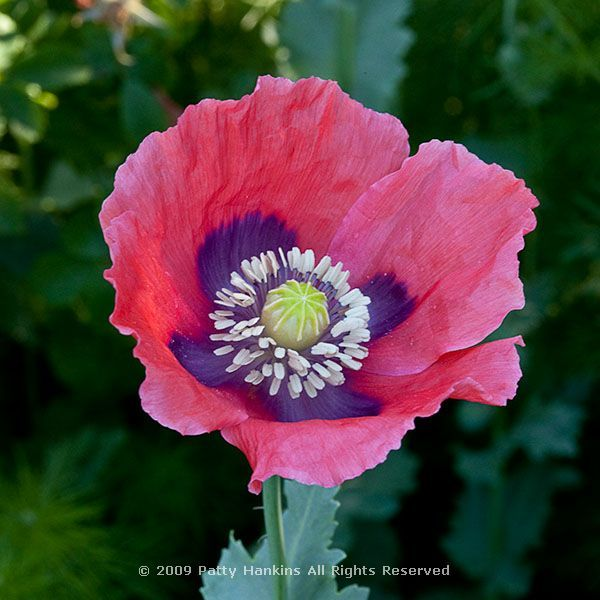 Opium poppy flower pinterest flowers opium poppy flower mightylinksfo
