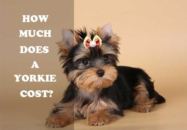 Yorkshire Terrier Price Range How Much Does A Yorkie Cost