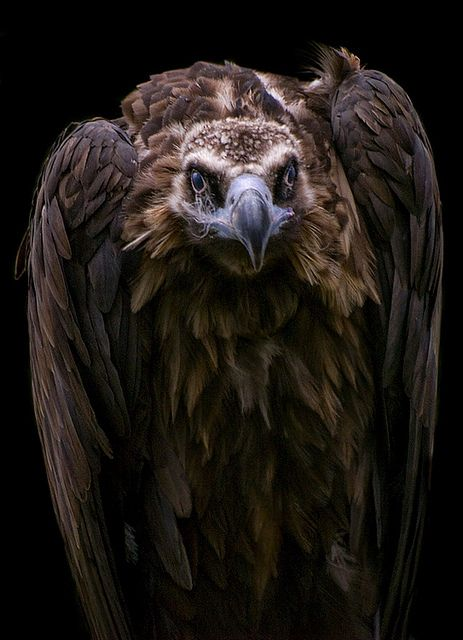 Vulture, photo by Tywak on flickr
