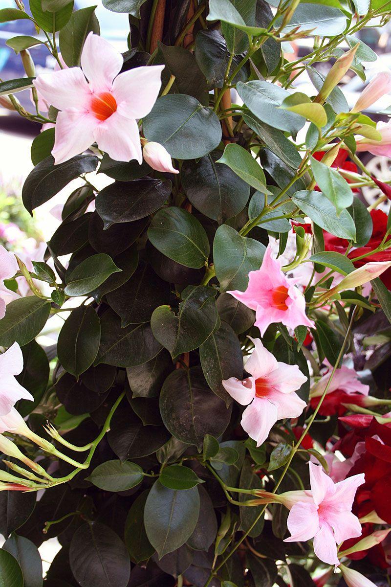 Kletterpflanze Rosa Bluhend Dipladenia Gartenpflanze Die Auch