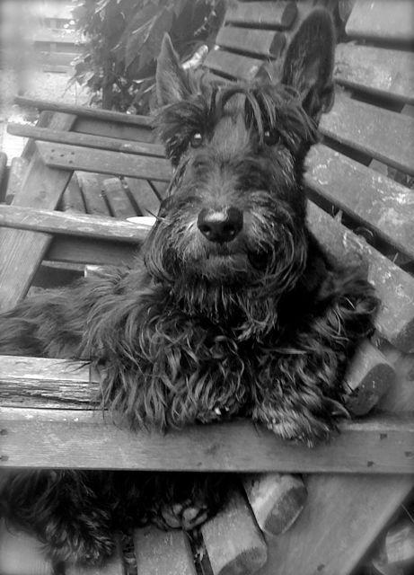 Scottie Aberdeen Terrier What A Cutie Scottish Terrier Puppy Scottie Dog Scottish Terrier
