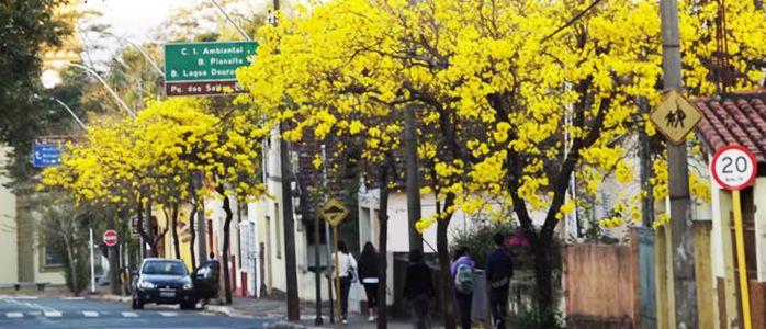 primavera-ipes-floridos-brotas