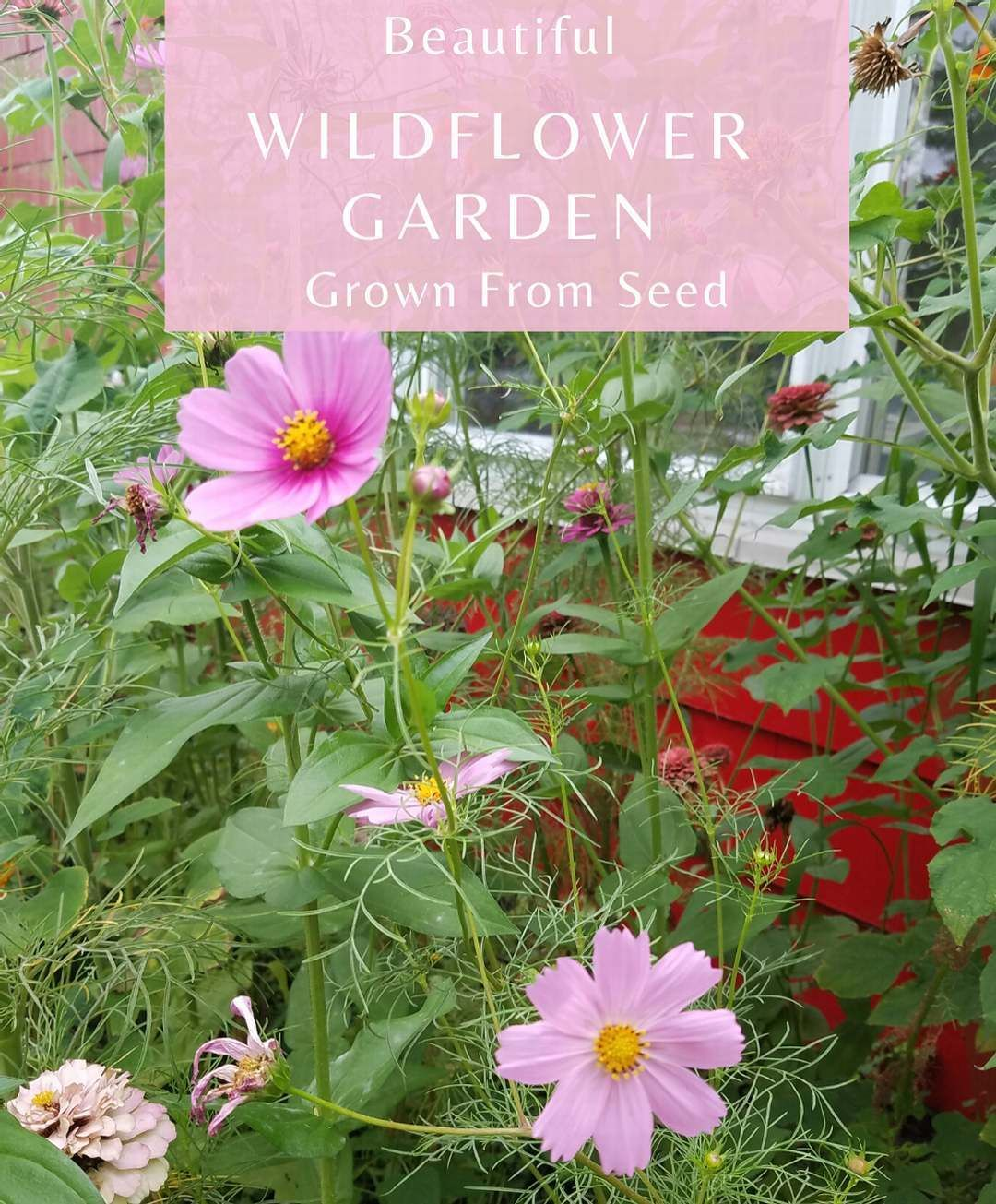 Wildflowers Were Grown In My Garden From Seed Two Summers Ago They Grew Over 7ft Tall Best I Have Ever Had In 2020 Wildflower Garden Flower Seeds Cosmos Flowers