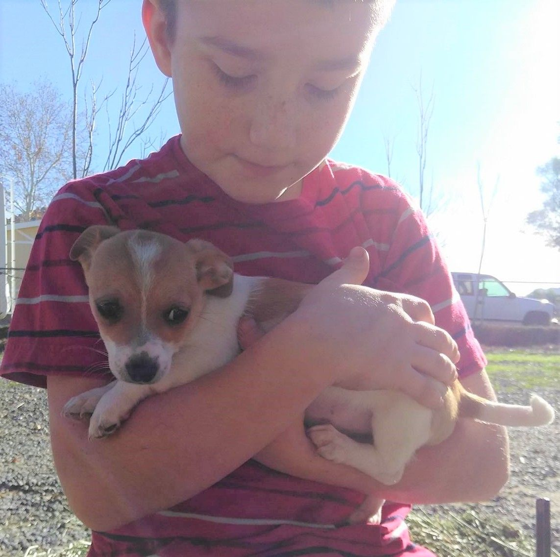 Cardigan Welsh dog for Adoption in Yucca Valley, CA