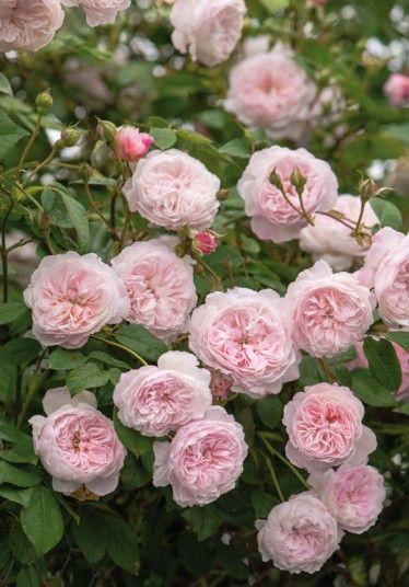 Rosa The Albrighton Rambler ('Ausmobile'), David Austin Roses
