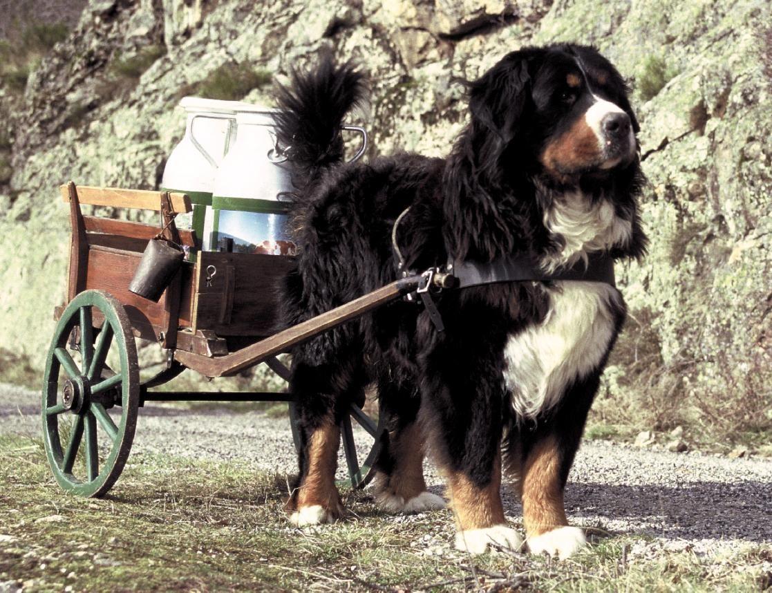 centrale canine bouvier bernois