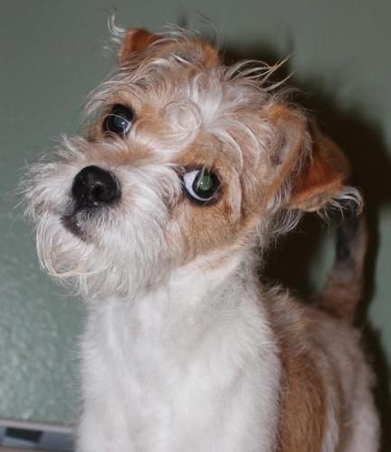 Polo   #Terrier #Dog    Young • Male • Small      Peninsula Unwanted Pets Society -  #Anchorage, #AK