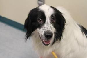 Barkley is an adoptable Australian Shepherd Dog in Bloomington, IN. All dogs from the Bloomington Animal Shelter are microchipped, have their first round of vaccinations, including de-worming, are tes...