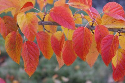 Flora Wonder Blog October 2012 Katsura Tree Plant Leaves Tree