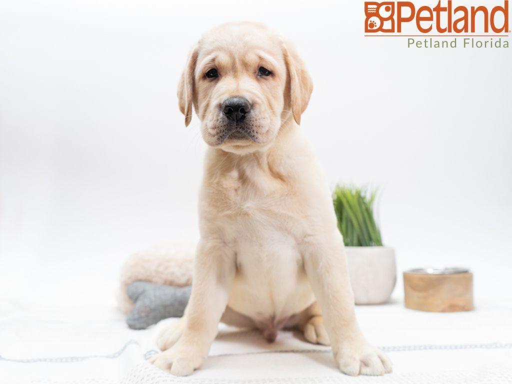 Puppies For Sale Puppies Puppies For Sale Labrador Retriever
