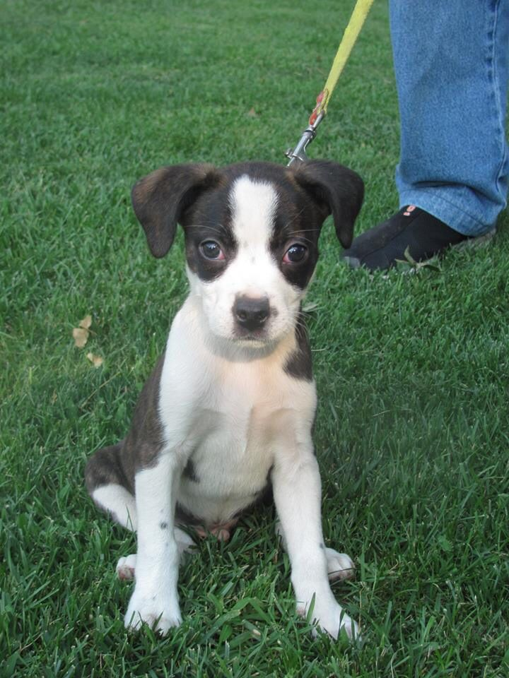 Our Boglen Terrier Boston Terrier X Beagle Mix Terrier Mix Dogs Boston Terrier Terrier